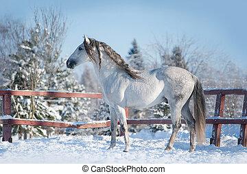 andalusian horse posing in winter paddock