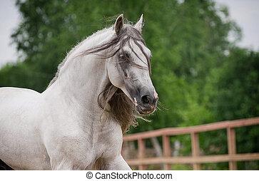 andalusian, paarde, beweging