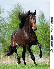 Andalusian stallion in summer field
