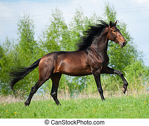 Andalusian stallion in summer - Galloping bay color...