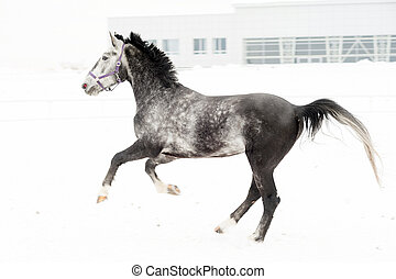 Andalusian thoroughbred gray horse in winter field in motion on the background of the nursery Multicolored horizontal image outdoors.