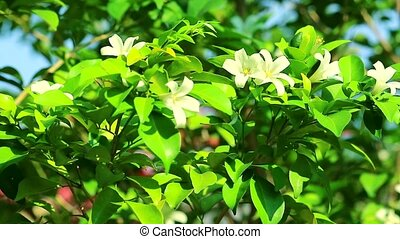 Andaman Satinwood flowers are blooming and releasing fragrance to lure insects in rainy
