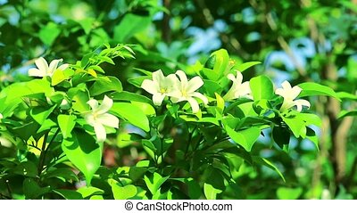 Andaman Satinwood flowers are blooming and releasing fragrance to lure insects in the garden