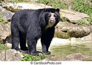Andean bear (Tremarctos ornatus) standing near pond, also ...