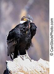 Andean Condor sitting at Mirador Cruz del Condor in Colca ...