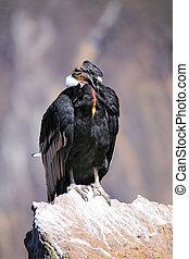 Andean Condor sitting at Mirador Cruz del Condor in Colca...
