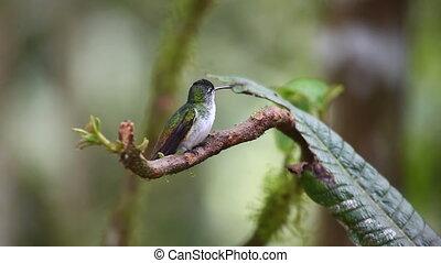 Andean Emerald, Agyrtria franciae