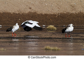 andean goose flying over