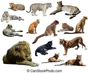 anderen, leeuw, wildcats., vrijstaand, set, groot, witte , op