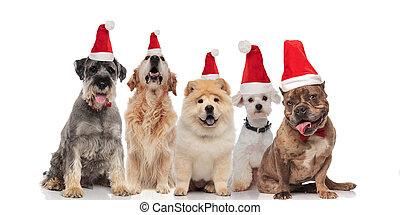 anders, groep, vijf, kerstman, schattige, honden, fokken