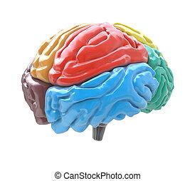 anders, kwabben, vrijstaand, hersenen, kleuren, achtergrond, witte