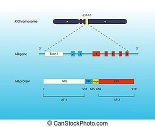 Androgen receptor gene