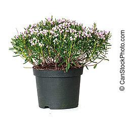 andromeda, polifolia, rosmarin, sumpf