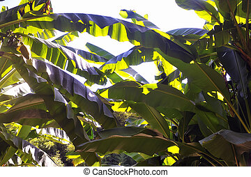 anduze, bambou, parc, arbre banane