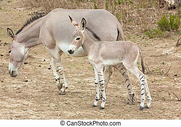 ane, bébé, mère, sauvage, somali