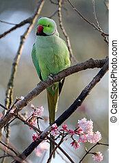 anel, necked, parakeet