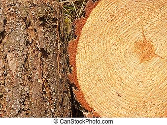 anelli albero, pino, tronco