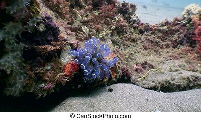 Anemone actinium close up underwater on deep sea of nature Philippines.