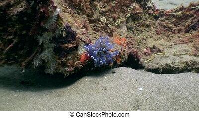 Anemone actinium underwater on deep sea of nature...