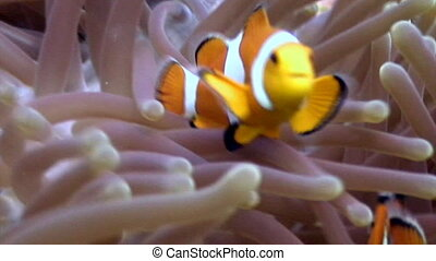 Anemone and clownfish close up underwater on seabed of nature Philippines.