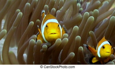 Anemone and clownfish close up underwater on seabed of wildlife Philippines.