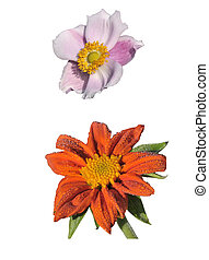 Anemone and Tithonia Speciosa isolated on white background