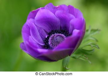 Anemone Blanda - Purple anemone blanda closeup