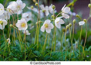 Anemone, blooming flower in garden, spring time