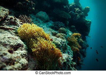 anemone fish on home on the abyss