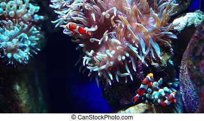 Anemone fish or clown fish. Aquarium or Oceanarium, Fish...