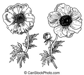 Anemone flowers - Anemone - Hand-drawn engraving ...