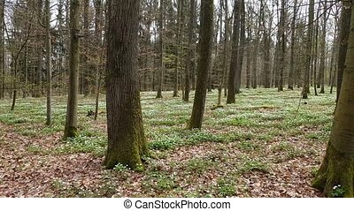 Anemone flowers in the forest in spring