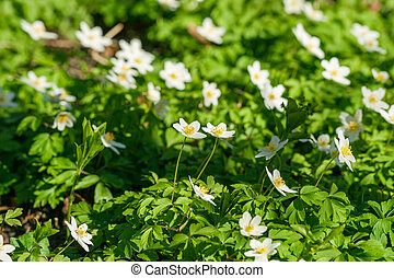 Anemone flowers on a green meadow
