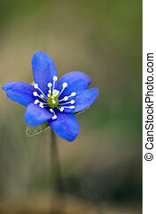 close up of wild anemone hepatica in spring