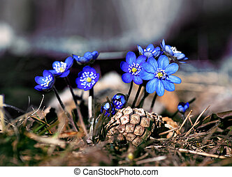 anemone hepatica - Close up of anemone hepatica in early...