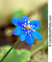 Anemone Hepatica - Close up of Anemone Hepatica with green...