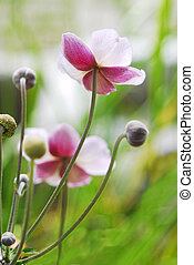 Anemone Japanese