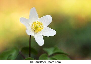 anemone-macro