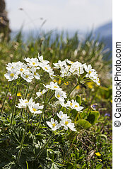 Anemone narcissiflora flowers in the German alps