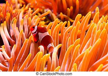 anemone - a clown fish swimming through the sea anemone