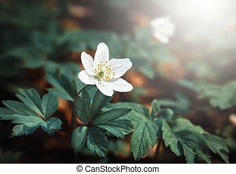 Anemone sylvestris. First spring flowers - First spring ...
