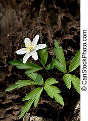 Anemone sylvestris. First spring flowers