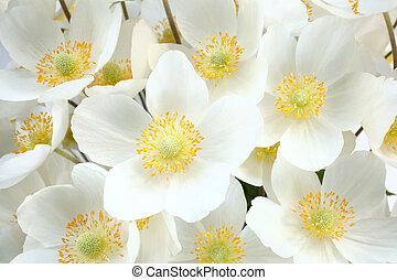 Anemone sylvestris (snowdrop anemone), for backgrounds or ...