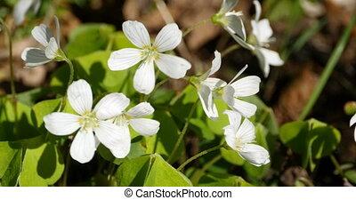 anemone white flowers primroses - white flowers primroses,...
