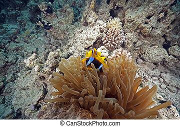 anemonefish, anémona