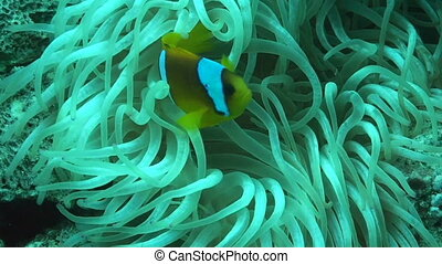 Anemonefish - Anemone fish or clownfish near and in the...