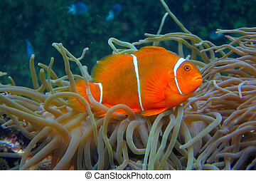 anemonefish, anemones, clownfish, mar