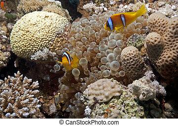 anemonefish, burbujee anémona