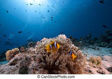 anemonefish, burbujee anémona, océano