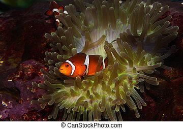 anemonefish, clownfisch, –